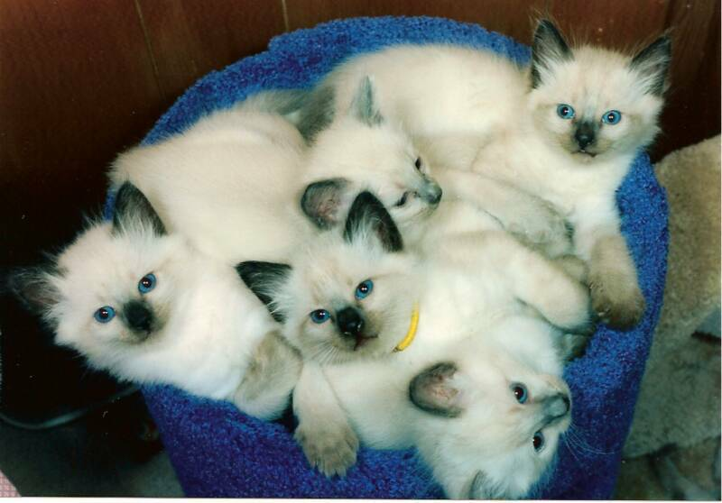 Balinese Long Haired Kittens Male Purebred Shipped Worldwide